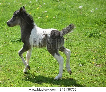 Field With An Adorable Frisky Black And White Paint Miniature Horse.