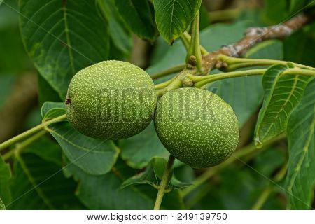 Two Green Walnuts On A Branch Of A Tree With Leaves