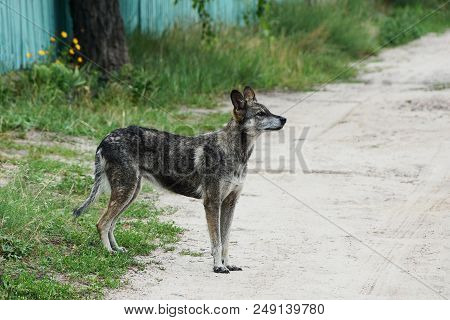 A Large Gray Dog Stands Outside On A Sandy Road