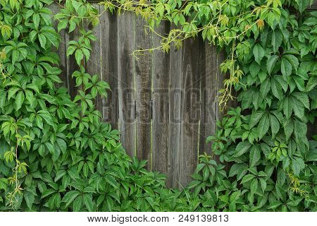 Gray Wooden Fence Overgrown With Green Plants With Leaves