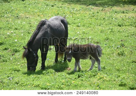 Spring Day With A Beautiful Miniature Horse Family Grazing.