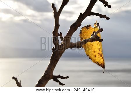 Last Yellow Leaf In A Branch Before Winter Arrives