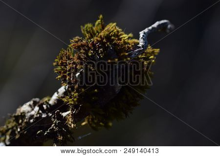 Macro Photo Of Moss In A Branch At Sunset Time