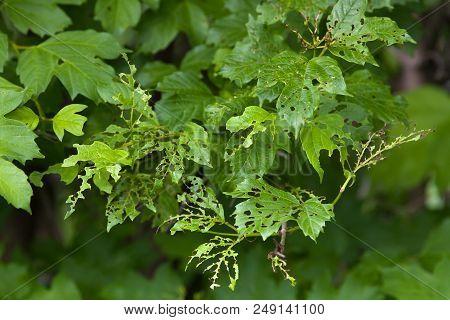 Viburnum Leaf Damaged By Viburnum Leaf Beetle (pyrrhalta Vibumi)