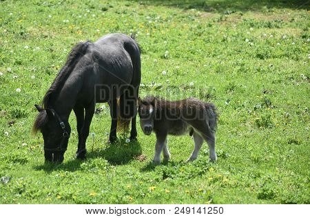 Sweet Black Mare Miniature Horse With A Shaggy Colt In A Grass Field.
