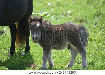 Absolutely Adorable Black Shaggy Newborn Miniature Horse Foal.