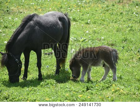 Spring Day With A Miniature Horse Mare And Colt In A Grass Field.