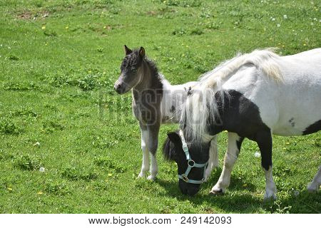 Sweet White And Black Miniature Horse Family Grazing In A Field.