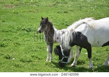 Sweet Miniature Horse Mare And Foal In A Grass Field.
