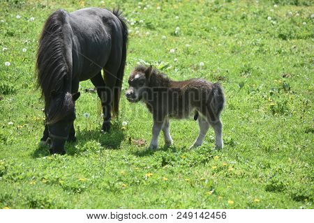 Beautiful Black Miniature Horse Mare And Colt Standing In A Field.