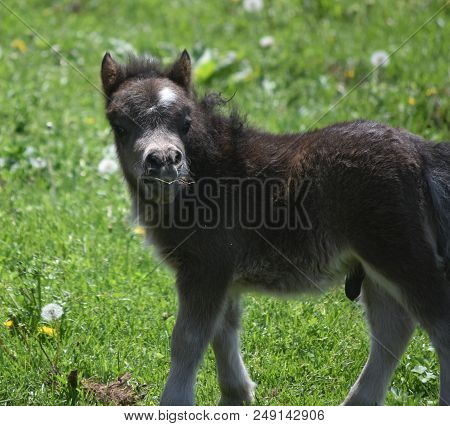 Loveable Fluffy Black Miniature Horse In A Grassy Field.