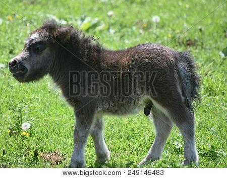 Precious Black Fluffy Miniature Horse Foal In A Grass Field.