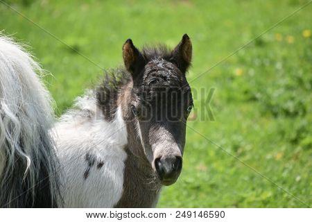 Face Of A Miniature Horse Foal Up Close In A Field.