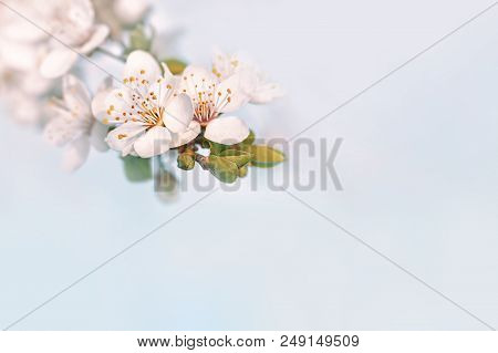 Springtime Nature Background With Copy Space. Soft Focus Image Of Spring Flowers Blossom. Spring Blo