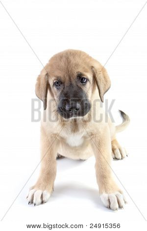 Puppy of the Spanish mastiff isolated on a white background poster