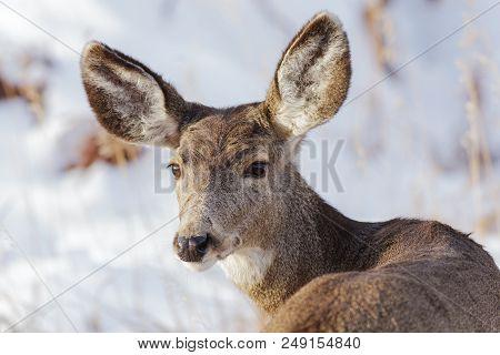 Wild Deer On The Colorado Prairie - Mule Deer In The Snow