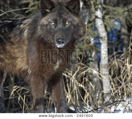 Black wolf glares at photographer from forest. poster