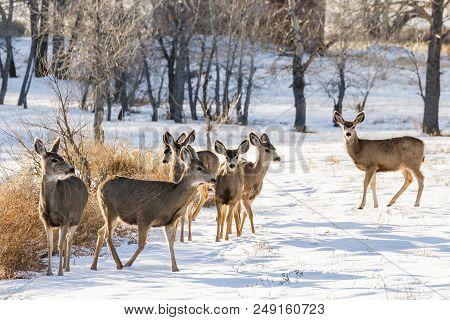 Wild Deer On The Colorado Prairie. A Small Herd Of Mule Deer Gathered In The Snow.
