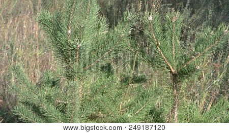 Small Scots Pines. Two Young Strong Common Coniferous Trees On Forest Glade