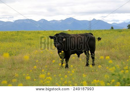 Cow Surrounded By Canola Plants In Polson, Mt