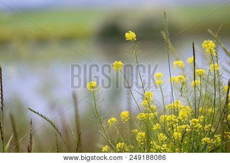 Wild Flower In Glacier National Park In Montana