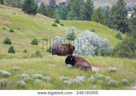 Wild Bison Roaming Freely In The Wild