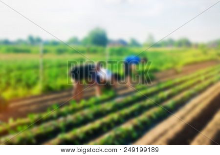 Workers Work On The Field, Harvesting, Manual Labor, Farming, Agriculture, Agro-industry In Third Wo