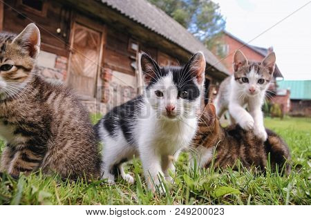 Group Of Young Cats On A Farmyard In Masovian Voivodeship Of Poland