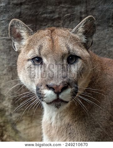 Close-up Portrait Of A Female Puma, Also Known As A Mountain Lion Or Cougar Facing Toward You