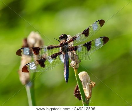 Dragonfly, Twelve-spotted Skimmer, Closeup, Green Background, Insect
