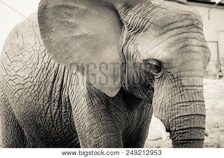 Elephant Close-up With Sad Expression. The Head Of An Elephant Close-up. Vintage, Grunge Old Retro S