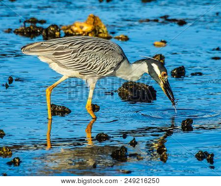 A Close Up Of A Yellow Crowned Night Heron Catching A Small Crab In An Oyster Bed On The St. Lucie R