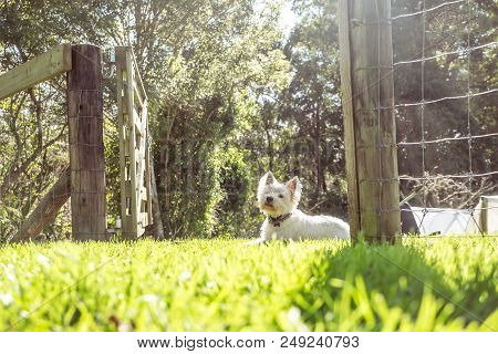 West Highland White Terrier Westie Dog On Grass In Garden With Gate And Fence In New Zealand, Nz