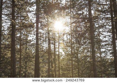 sun light through conifer wood trees. forest tree sunshine