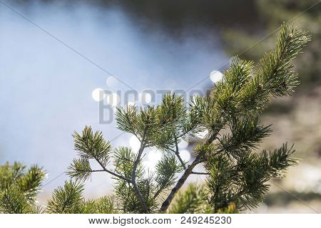 Conifer Tree Branches Isolated. Winter Tree Close Up