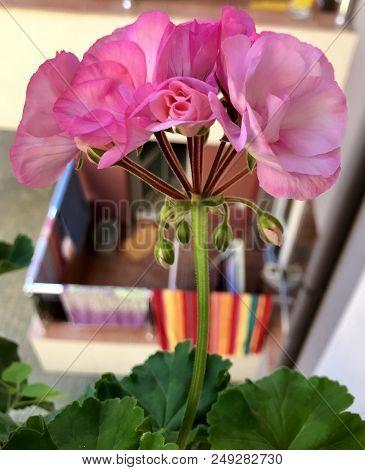 Geranium Pelargonium Flowers Color Image Stock Photos