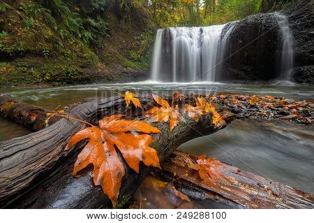 Maple Tree Leaves On Wood Log At Hidden Falls In Clackamas Oregon During Fall Season