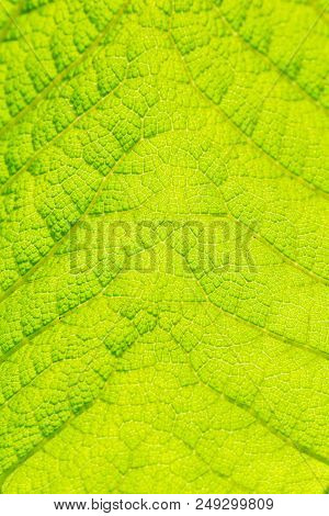 Close-up Of Big Green Leaf (gunnera Manicata) In The Morning Light.. View To A Beautiful Structured