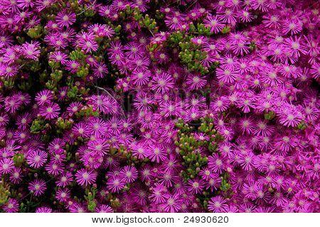 fuchsia purple flowers