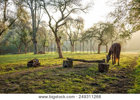 Horse Grazing In A Orchard That Serves For Equitation Training