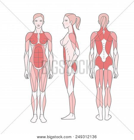 Figure Of The Woman, The Scheme Of The Basic Trained Muscles. Front, Rear And Side Views. Vector. Is