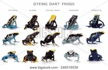 Dyeing poison dart frogs set, Dendrobates tinctorius, isolated on white background poster