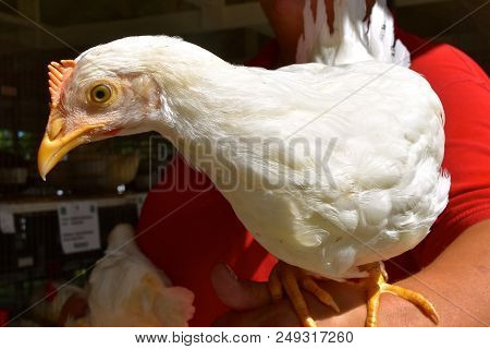 A Young Pullet (chicken) Roosts On The Arm Of A Lady At A Livestock Judging Show.