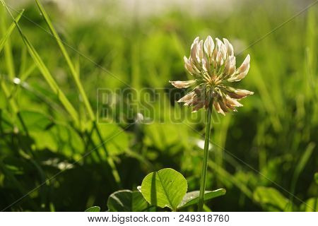 Close Up Of White Clover In A Green Meadow