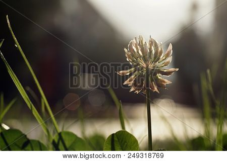 White Clover In A Green Lawn By The Road Closeup