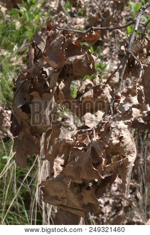 Lush Oak Branch With Dry Foliage, Close-up