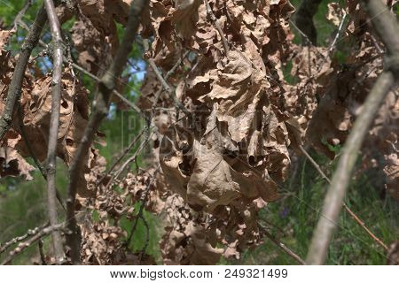 Pattern Of Autumn On Backgrounds Of Spring And Summer: Big Cluster Of Dry Oak Leaves, Withered, On D