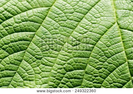 Close-up Of A Green Leaf With Curvatures. View To A Beautiful Structured Green Leaf. Natural Nature