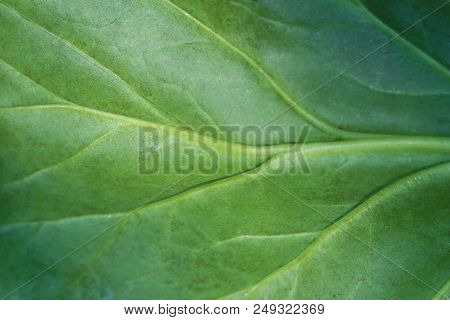 Close-up Of A Green Leaf With Natural Curved Lines. View To A Beautiful Structured Green Leaf. Natur