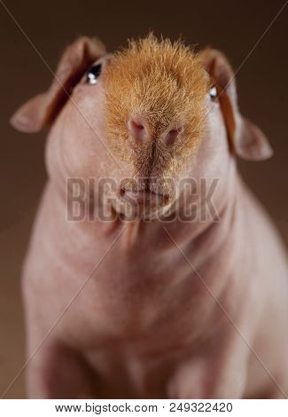 Guinean Pig Portrait In Studio With Brown Background